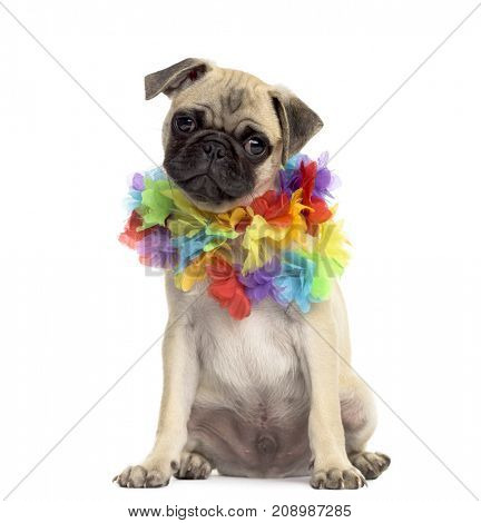 Pug sitting wearing a hawaiian lei, isolated on white
