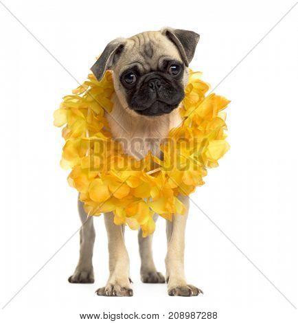 Pug standing wearing a hawaiian lei, isolated on white