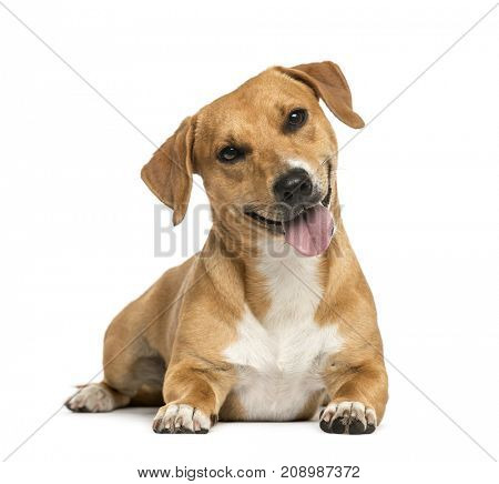 dog, Jack russell lying and panting, isolated on white