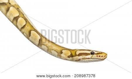 snake, Close-up of a firefly python, isolated on white