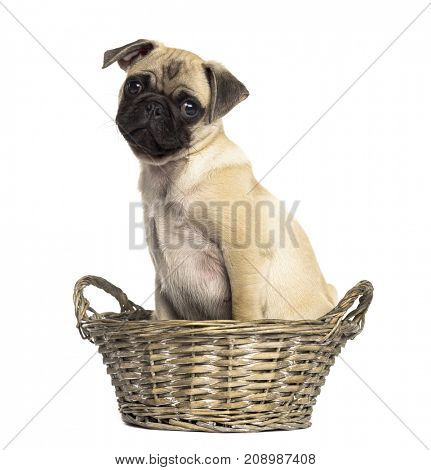 Dog, Pug sitting in a wicker basket, isolated on white