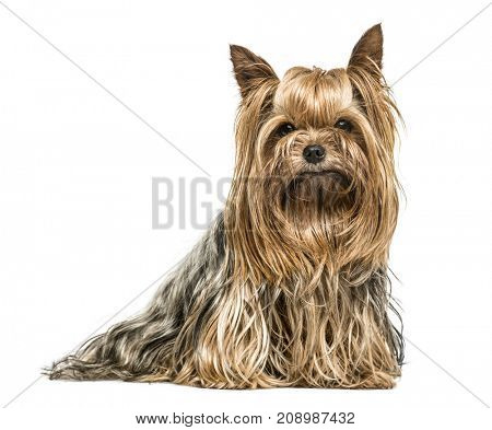 Dog, Yorkshire terrier stting, isolated on white