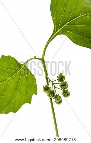 Leaves And Berrys Of Black Nightshade, Lat. Solanum Nígrum, Poisonous Plant, Isolated On White Backg