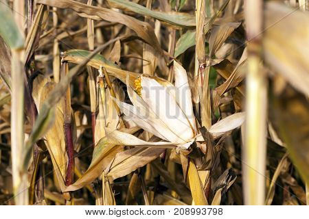 small agricultural field where dry maize is grown. Autumn season, the corn is ripe and ready for harvest. Photo taken closeup with a small depth of field.