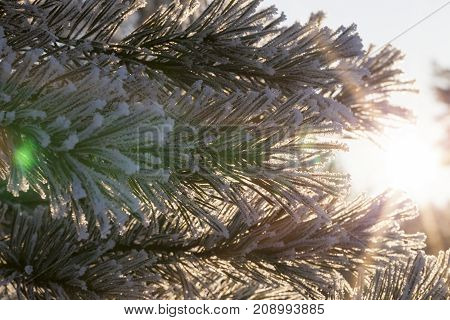 pine branches in the frost and white snow sticking up. Sunny and frosty day in the forest. through the branches a bright sun shines