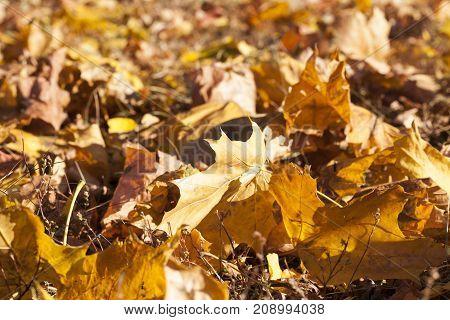 yellow foliage of maple during leaf fall. Autumn season