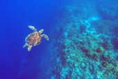 Green sea turtle in deep blue sea water. Sea tortoise top view underwater photo. Sea animal in coral reef. Coral reef ecosystem. Tropical island vacation activity. Diving in tropical seashore poster