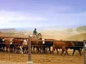 Working cowboy out on the range with his cattle. poster