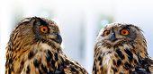 European eagle owl ( Bubo Bubo ). Wildlife photo. poster