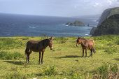 Two horses in Hawaii with cliffs and ocean in the background poster