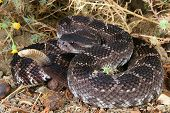 Coiled in natural environment Southern Pacific Rattlesnake (Crotalus viridis helleri). poster
