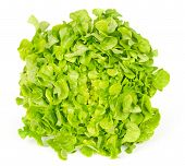 Green oak leaf lettuce front view isolated over white. Also called oakleaf, a variety of Lactuca sativa. Green butter lettuce with distinctly lobed leaves with oak leaf shape. Macro closeup photo. poster