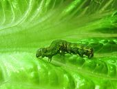close up of caterpillar on a green salad leaf poster