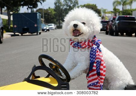 Dog in Taxi Pedal Car. A Bichon Frise dog drives her yellow Taxi Pedal Car. Driving Dog. Dog  car ride.