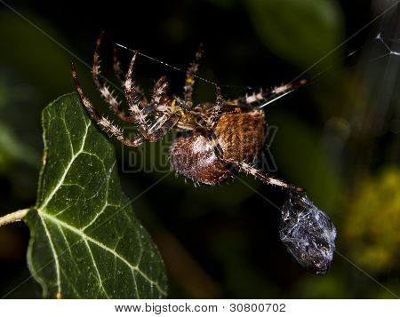 spider carrying a fly