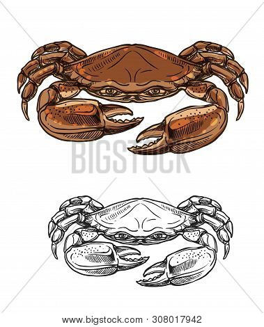 Crab Sketch Of Vector Sea Animal And Seafood. Red Shellfish With Brown Claws And Pincers. Marine Inv