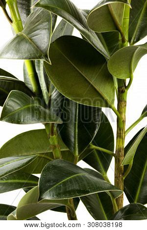 Rubber Figs Big Smooth Green Leaf Ficus Benjamina, Ficus Elastica, Ficus Microcarpa, Rubber, Weeping