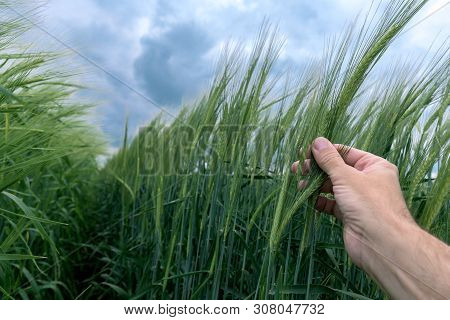 Agronomist Inspecting Barley Plant Development In Field, Close Up Of Male Farmer Hand Gently Touchin