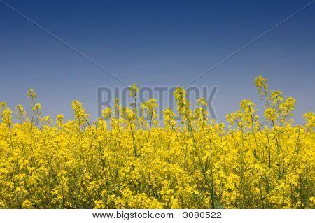 Golden Yellow Rapeseed