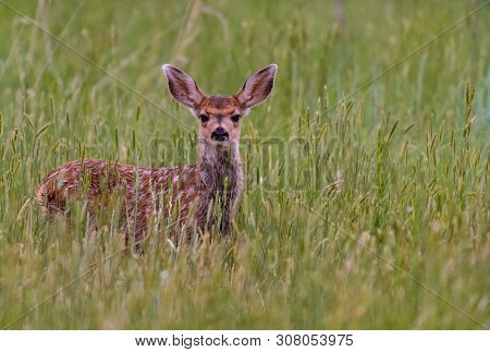An Adorable Mule Deer Fawn Frolicking In A Field