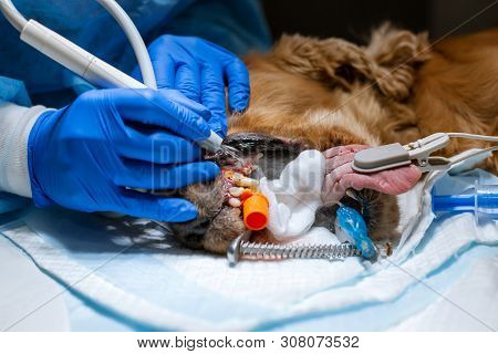 A vet surgeon brushes his dog's teeth under anesthesia on the operating table. Sanitation of the oral cavity in dogs. Dentist veterinarian treats teeth in a veterinary clinic. Veterinary Dentistry. poster