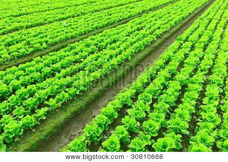 Rows of freshly planted lettuce poster