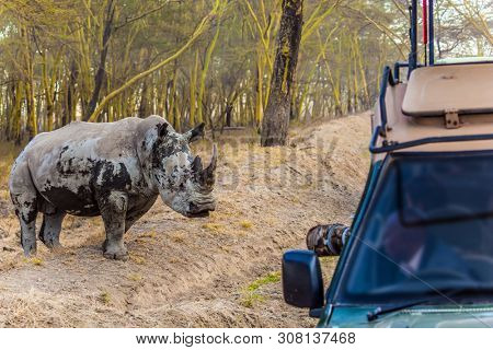 Huge gorgeous white rhino and touring jeep safari. Wild animals in natural habitat. Safari - tour to the Kenya, on the shores of Lake Naivasha. The concept of exotic, ecological and phototourism