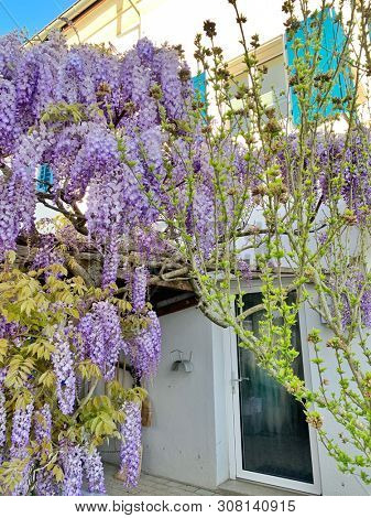 Wisteria flowers in spring season