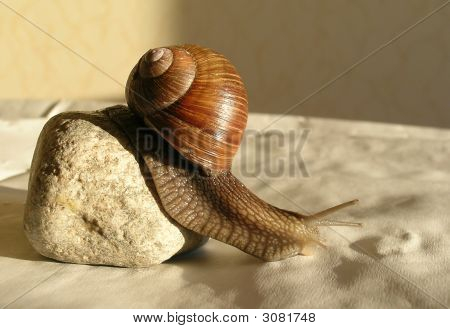 The beautiful snail will slowly run from a stone to a sunlight poster