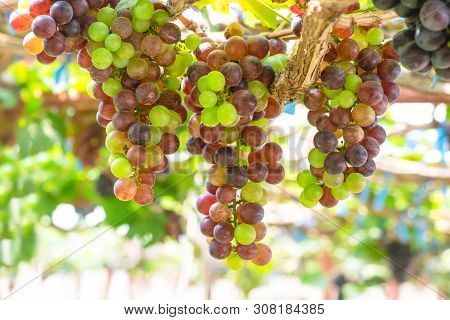 Purple Red Grapes With Green Leaves On The Wine