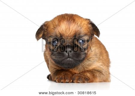 Beautiful Griffon Bruxelles puppy on a white background poster