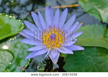 Violet Blooming Lotus Flower