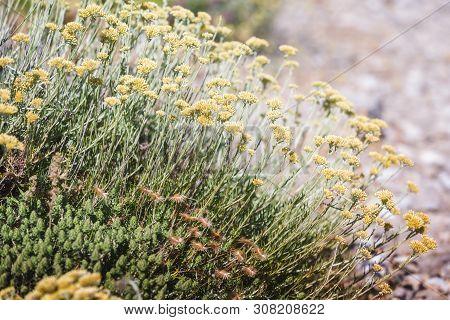 Immortelle Hydrosol Or  Everlasting(  Helichrysum Italicum) Yellow Blossom Plant Flower Outdoors,, C
