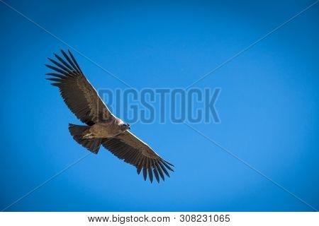 Andean Condor In Flight Against Blue Sky