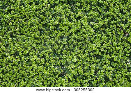 Seamless Photo Of A Wall Of Green Leaves