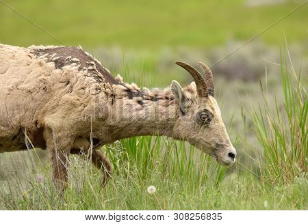 Female Bighorn Sheep In Natural Environment In Wyoming (ovis Canadensis)