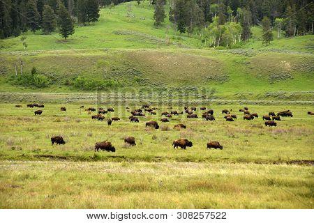 Buffalo Grazing The Wild In Wyoming Usa
