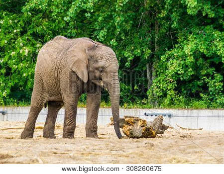 African Elephant With Small Tusks, Vulnerable Animal Specie From Africa