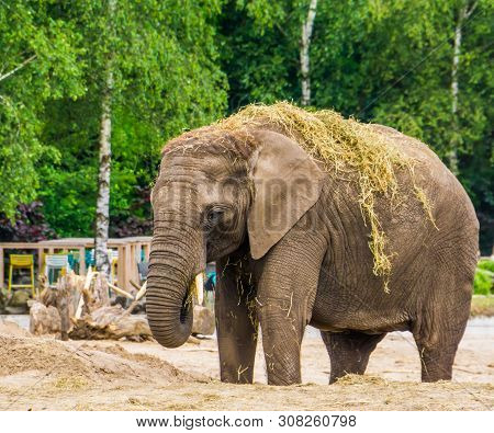 Closeup Of A Tusked African Elephant Eating And Playing With Grass, Vulnerable Animal Specie From Af