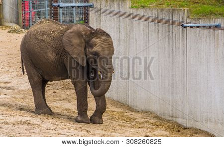Juvenile African Elephant With Small Tusks, Vulnerable Animal Specie From Africa