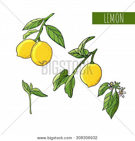 Lemon Fruit Artistic Illustration. Isolated Hand Drawn Lemon, Blooming Flowers And Leaves.