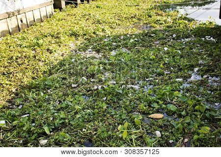Eichhornia Crassipes Or Common Water Hyacinth And Many Garbage On Surface Of Water Of Choa Praya Riv
