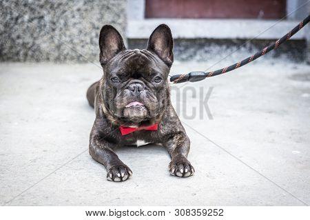 A Black French Bulldog Lies And Has A Lingering Tongue. Pet Dog Cute French Bulldog.