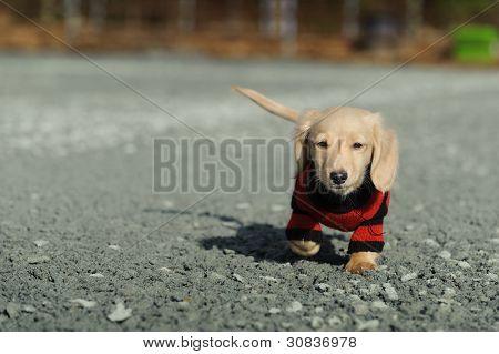 Dachshund Puppy Walks Towards The Camera