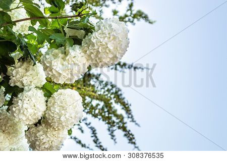 Group Of White Smooth Hydrangea 'annabelle' (hydrangea Arborescens) Flowers With Copy Space