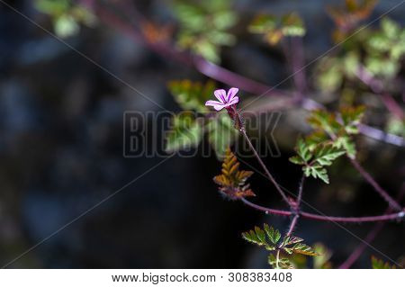 Storksbill Flower (geranium Robertianum), Herb Robert Sample .