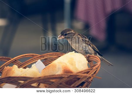 Close Up Of A Sparrow Stealing Bread. Close Up Of A Sparrow In Stealing Bread. Sparrow. Restaurant.