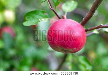 Fresh Red Apples On Apple Tree Branch. Red Apples On Apple Tree Branch