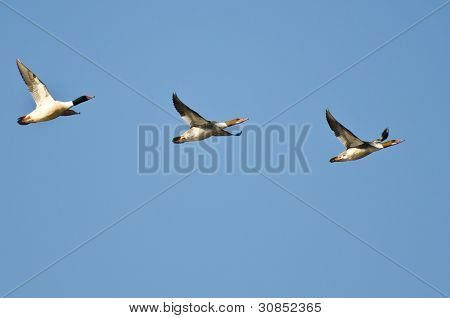 Common Mergansers Flying In A Blue Sky poster