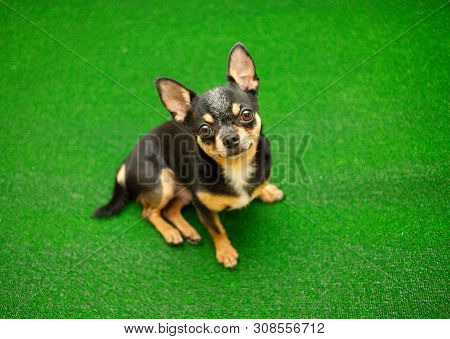 Chihuahua Dog On The Green Grass In Park. Dog On Artificial Green Grass. Chihufhua Black And Brown A